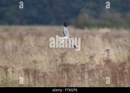 male Hen Harrier in flight over rough vegetation, - Stock Photo