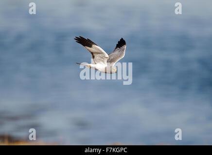 Hen Harrier adult male - Stock Photo