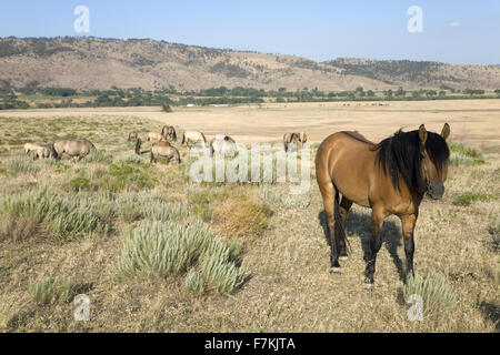 Horse known as Casanova, one of the wild horses at the Black Hills Wild Horse Sanctuary, the home to America's largest - Stock Photo