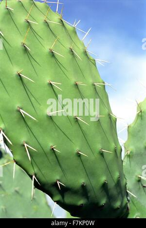 Cactus close-up.Tunisia - Stock Photo