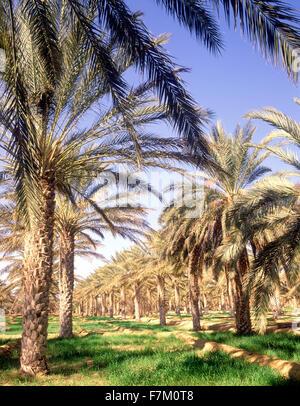 The Palmeraie at Tozeur. Tozeur, Tunisia. - Stock Photo