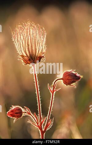 Seedhead of prairie smoke. Geum triflorum, Ollympic National Park, Washington, USA - Stock Photo