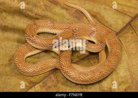 Salmon Bellied Racer Snake Dryadophis Melanolomus Panama Banded Argyrogena Fasciolata NCBS Bangalore India