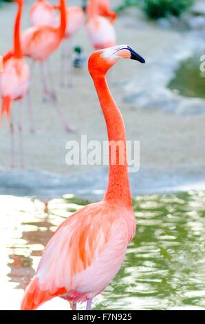 A profile view of a Caribbean Flamingo standing in the water, also known as american flamingo and Phoenicopterus - Stock Photo