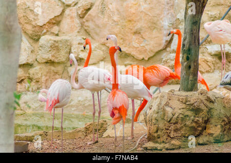 A group of Caribbean and Greater Flamingos standing in the water. Distinct for their vibrant orange - pink plumage, - Stock Photo