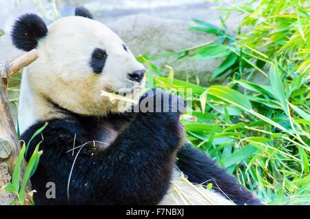 A cute adorable lazy adult giant Panda bear eating bamboo. The Ailuropoda melanoleuca is distinct by the large black - Stock Photo