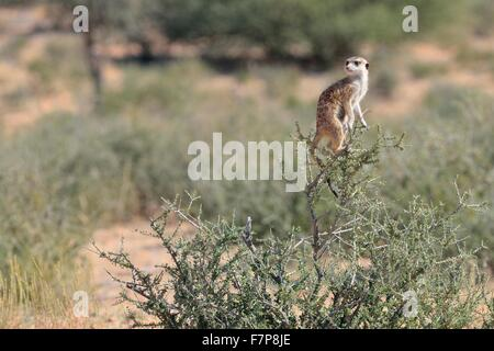 Meerkat (Suricata suricatta), adult female standing at the top of a bush,Kgalagadi Transfrontier Park,Northern Cape,South - Stock Photo