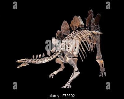 Model of a Stegosaurus skeleton - a genus of armored stegosaurid dinosaur - Stock Photo