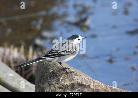 Female pied wagtail (Motacilla alba) perched on a stone by a garden pond - Stock Photo