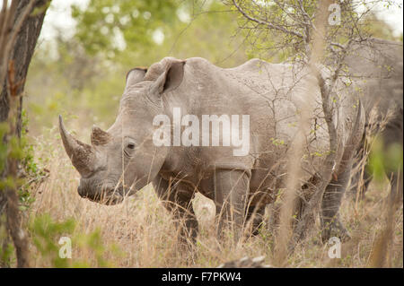 Rhinoceros graze by the side of the road in Kruger National Park, South Africa - Stock Photo