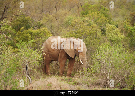 A mud cover African elephant in Kruger National Park, South Africa. - Stock Photo