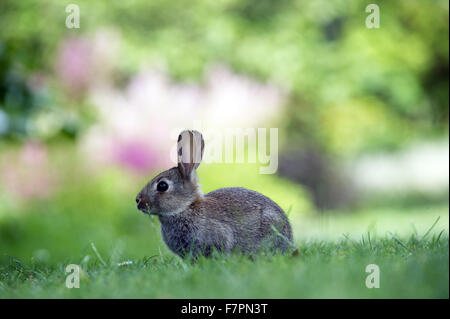 Wild rabbit at Bodnant Garden, Clwyd, Wales. Created by five generations of one family, Bodnant sits perfectly within - Stock Photo