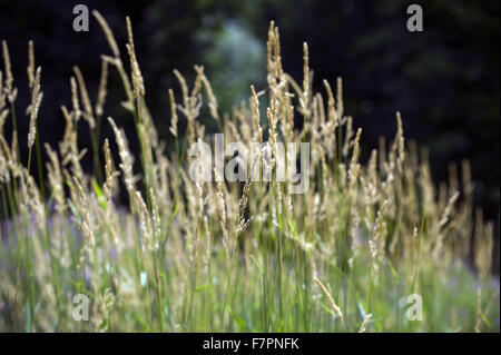 Grasses growing in the grounds of Morden Hall Park, London. - Stock Photo