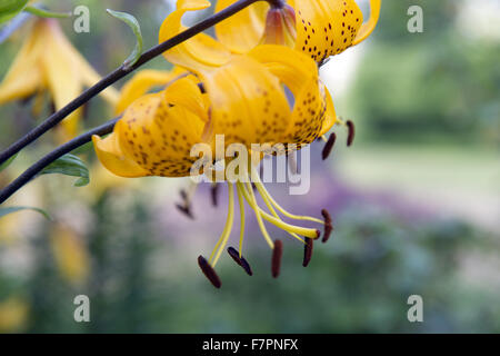 Flower growing in July at Bodnant Garden, Clwyd, Wales. Created by five generations of one family, Bodnant sits - Stock Photo