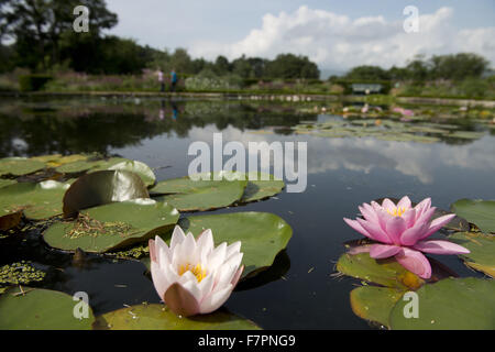 Water lilies growing in July at Bodnant Garden, Clwyd, Wales. Created by five generations of one family, Bodnant - Stock Photo