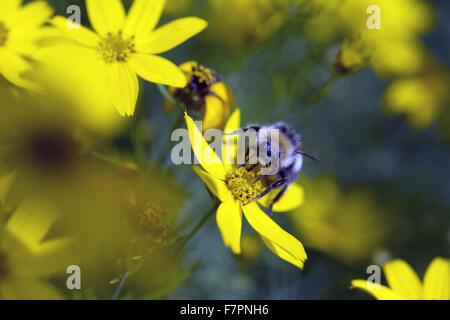 Bees on yellow flowers growing in July at Bodnant Garden, Clwyd, Wales. Created by five generations of one family, - Stock Photo