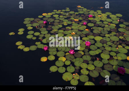 Lily pads growing in July at Bodnant Garden, Clwyd, Wales. Created by five generations of one family, Bodnant sits - Stock Photo