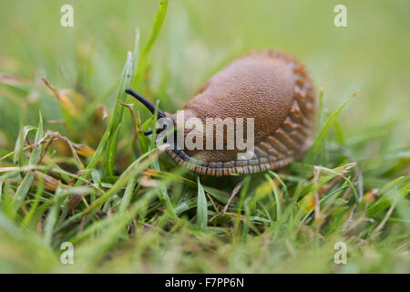 A great red slug (Arion ater) on the grass at Morden Hall Park, London. - Stock Photo
