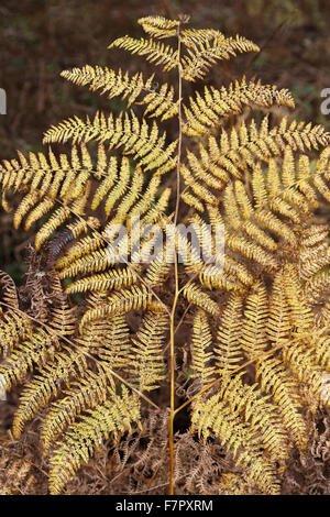 Bracken (Pteridium aquilinum) frond growing in woodland on the Ashridge Estate, Hertfordshire, in November. - Stock Photo