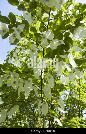 'Handkerchief tree' (Davidia involucrata) flower bracts in bloom in the gardens at Nymans, West Sussex, in July. - Stock Photo