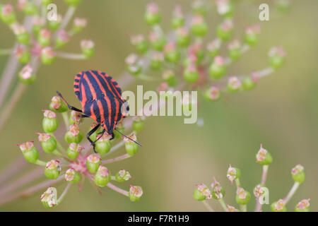 Shield bug, Graphosoma lineatum on an umbel - Stock Photo