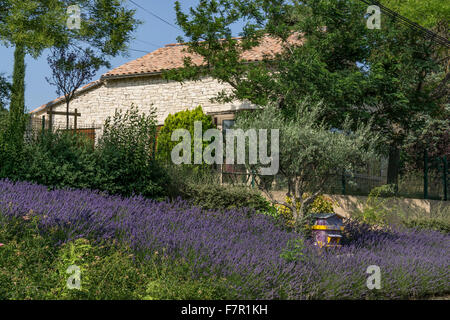 Lavender in  Cruis, Alpes de Haute-Provence , Provence, France - Stock Photo