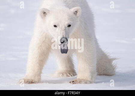 A Young Polar Bear (Ursus Maritimus) sticks out it's tongue to taste the air in Sallyhamna, Spitsbergen, Svalbard - Stock Photo