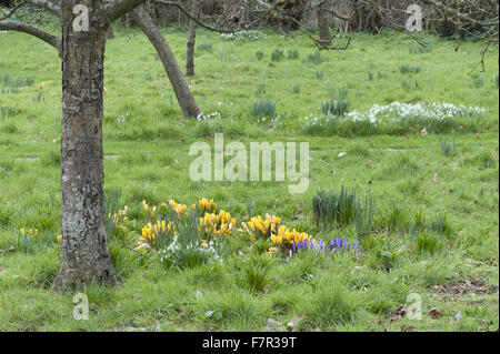 Daffodils growing under a tree in the garden at Monk's House, East Sussex. Monk's House was the writer Virginia - Stock Photo