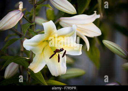 Lilys growing in the Walled Garden at Felbrigg Hall, Gardens and Estate, Norfolk. - Stock Photo