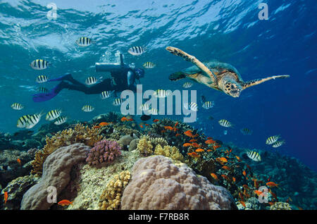 Scuba diver with Hawksbill sea turtle on coral reef in the Red Sea, Hamata, Egypt - Stock Photo