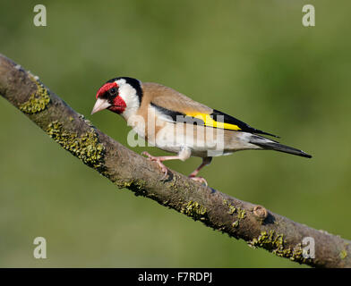 Goldfinch, Carduelis carduelis, perched on stick, in garden in Lancashire, England, - Stock Photo