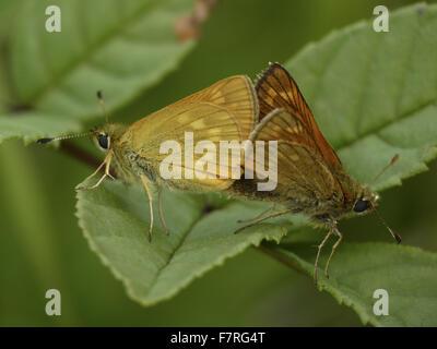 Large Skipper butterflies, mating pair - Stock Photo