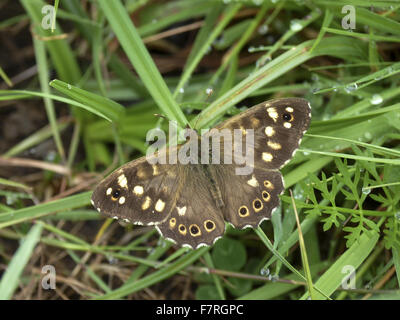 Speckled Wood butterfly, male - Stock Photo