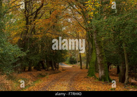 Track through mixed oak, beech and holly woodland,  in autumn, at London Minstead, New Forest - Stock Photo