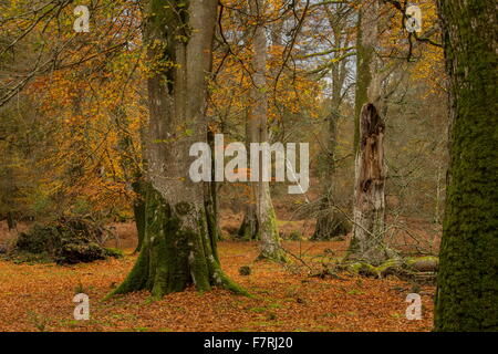 Grazed Beech woodland in autumn in Mark Ash Wood, New Forest. - Stock Photo