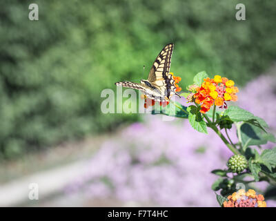 Papilio machaon Butterfly. Specimen of Papilio machaon Butterfly photographed in Sardinia in autumn - Stock Photo