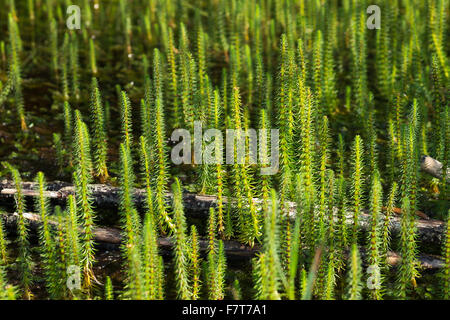 Mare's tail (Hippuris vulgaris), nature reserve Isarauen, Upper Bavaria, Bavaria, Germany - Stock Photo