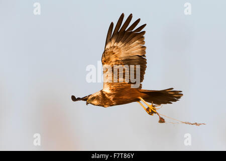 Eurasian or western marsh harrier (Circus aeruginosus) with prey in talons, Texel, Netherlands - Stock Photo