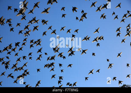 Common starlings (Sturnus vulgaris), swarm flying, migrating, Finsing, Bavaria, Germany - Stock Photo