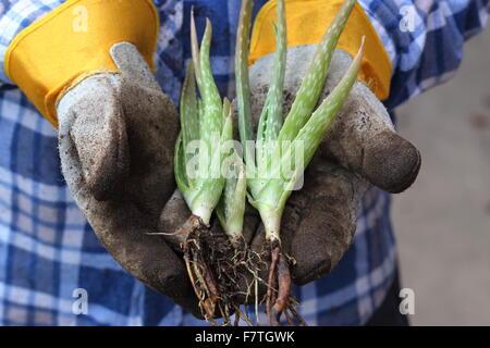 Hands holding young aloe vera plants - Stock Photo