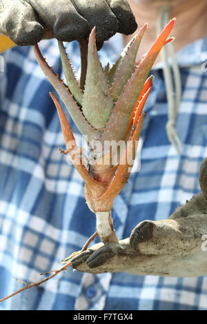 Hands holding aloe vera plant with roots - Stock Photo
