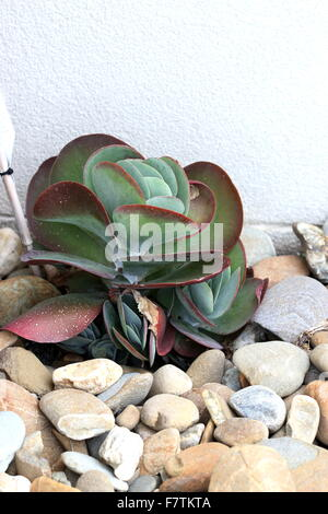 Kalanchoe thyrsiflora or also known as Kalanchoe Flapjack - Stock Photo