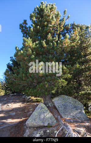 Swiss mountain pine (pinus mugo) which split a rock in two while growing through it. Valais/Wallis, Switzerland. - Stock Photo