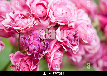 Withering pink roses, fading away pink flowers in July, shed blossoms plant growing in Polish ornamental garden, - Stock Photo