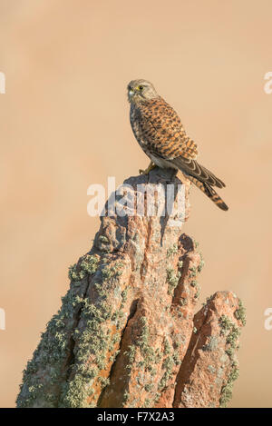 Kestrel (Falco tinnunculus) perched on a granite rock, Jersey, Channel Islands, UK - Stock Photo