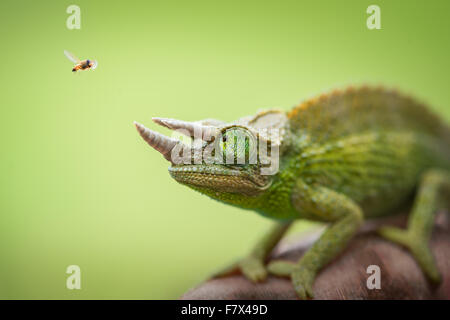 Hoverfly flying past a Jackson's chameleon (trioceros jacksonii) - Stock Photo