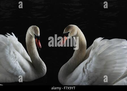Pair of mute swans facing each other on a black water background - Stock Photo