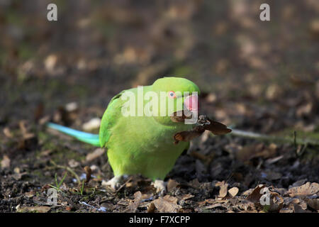 Rose-ringed Parakeet (Psittacula krameri) introduced species, adult female, feeding on fallen seeds, Mannheim, Baden - Stock Photo