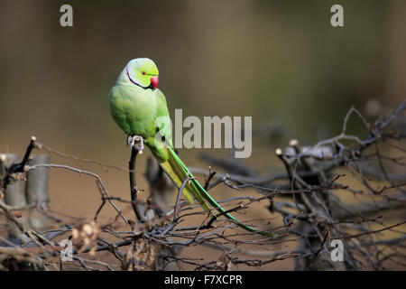 Rose-ringed Parakeet (Psittacula krameri) introduced species, adult male, perched on hedge, Mannheim, Baden-Wurttemberg, - Stock Photo