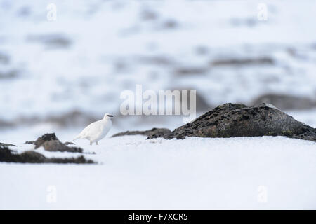 Rock Ptarmigan (Lagopus muta) adult male, non-breeding plumage, walking amongst rocks in snow, Cairngorms N.P., - Stock Photo